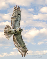 Red Tailed Hawk_3