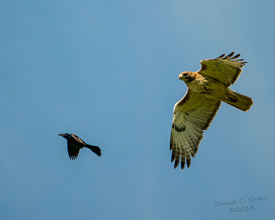 Red Tailed Hawk_2